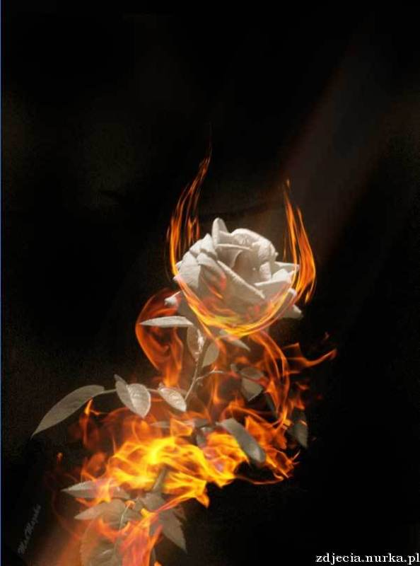 http://i269.photobucket.com/albums/jj42/wacka45/rose_and_fire_by_supertiti.jpg