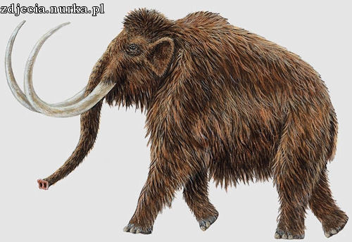 http://torlin.files.wordpress.com/2009/05/mamut-wlochaty.jpg