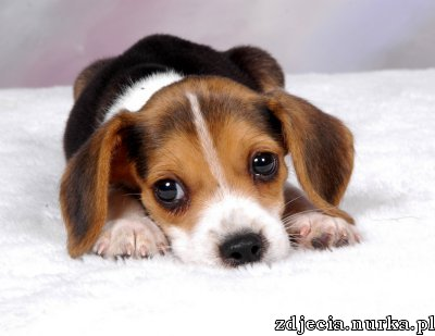 http://www.breederretriever.com/photopost/data/537/beagle_pup.jpg