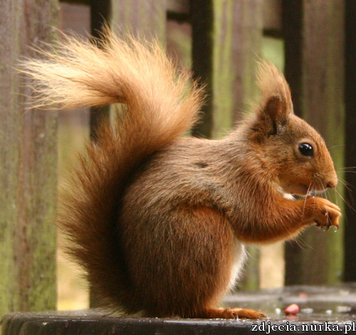 http://www.kittywompus.com/macadamia/images/20040622/small-squirrel.jpg