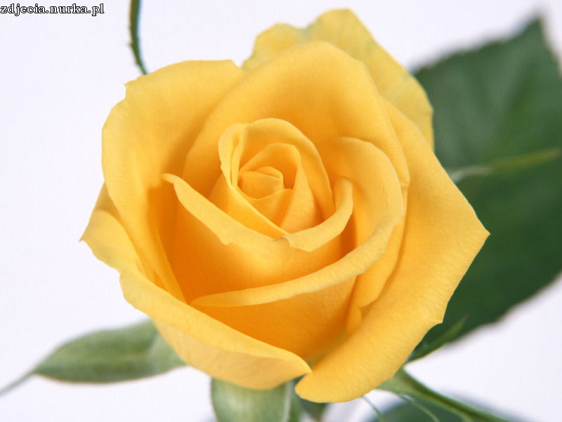 http://www.zastavki.com/pictures/1600x1200/2008/Nature_Flowers_Yellow_rose_petals___Flowers_008379_.jpg